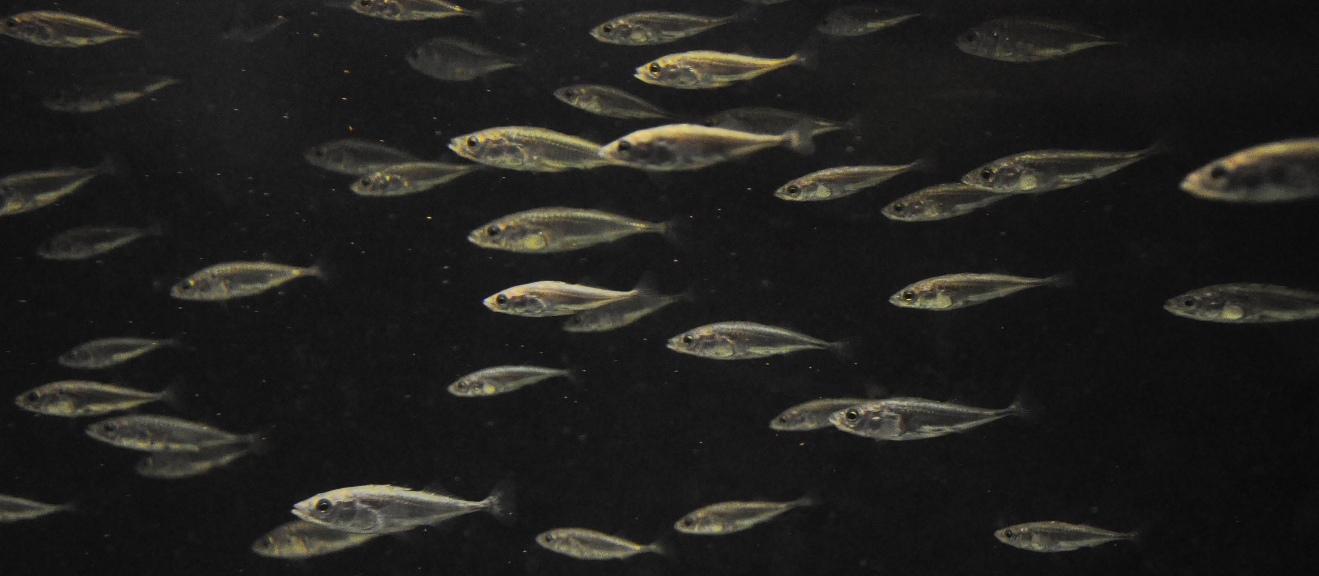 Sticklebacks swarm