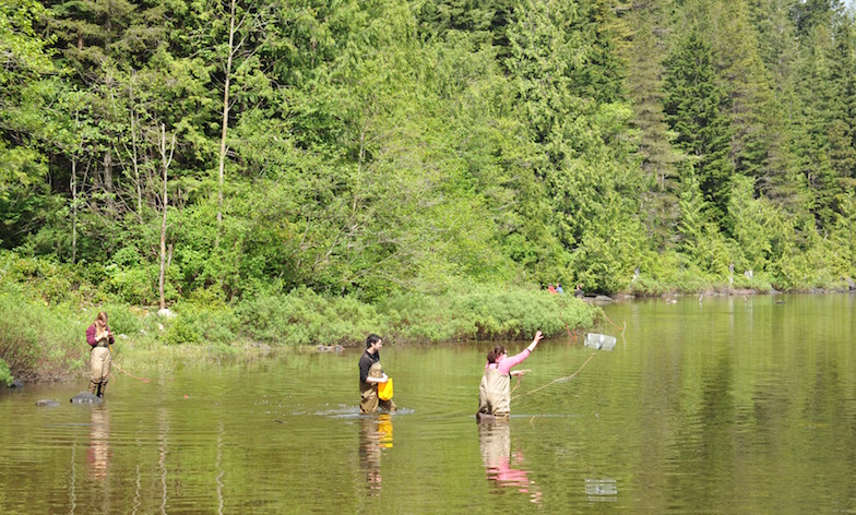 June 2013: Throwing traps to catch sticklebacks at Roberts Lake, Vancouver Island, Canada.